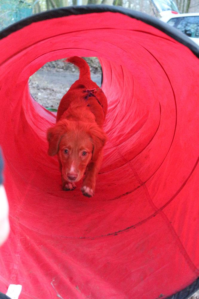 Guck maaaal, in der Hundeschule haben wir auch einen roten Tunnel. Der ist sooooooo toll !!! Mama sagt, wenn wir mal einen großen Garten haben, bekomme ich für zuhause auch einen :-D