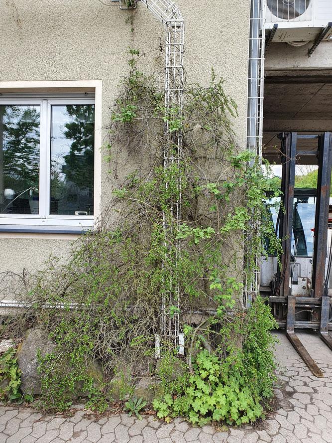 Foto 2 - Das Nest in dem Cotoneasterbusch in ca 220 cm Höhe