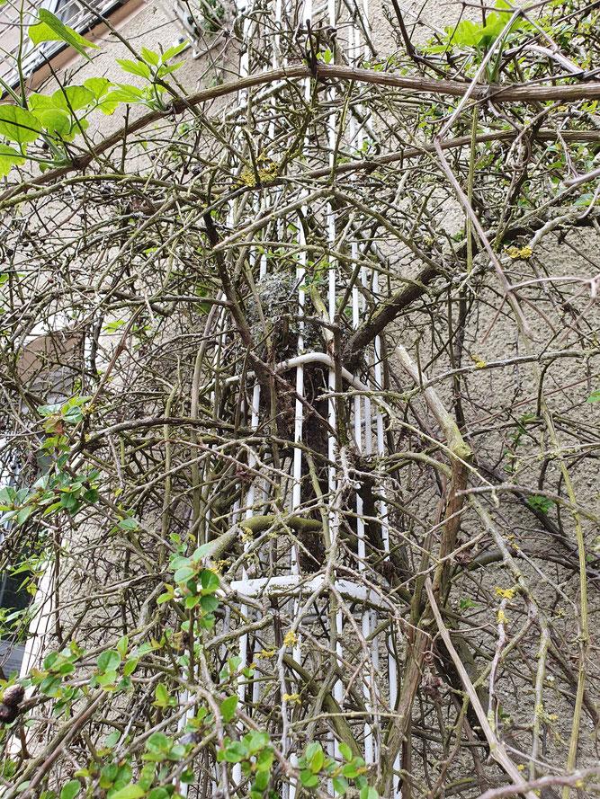 Foto 1 - Das Nest im Busch, eingeflochten in einem Rankgerüst.