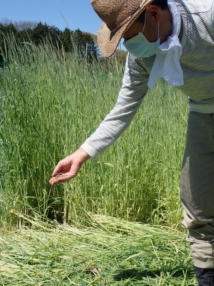 自然農で古代米を育てる農業体験