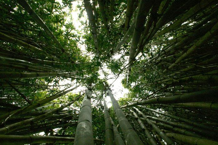 pdp Forêt de bambous edulis par sevenheads lopez