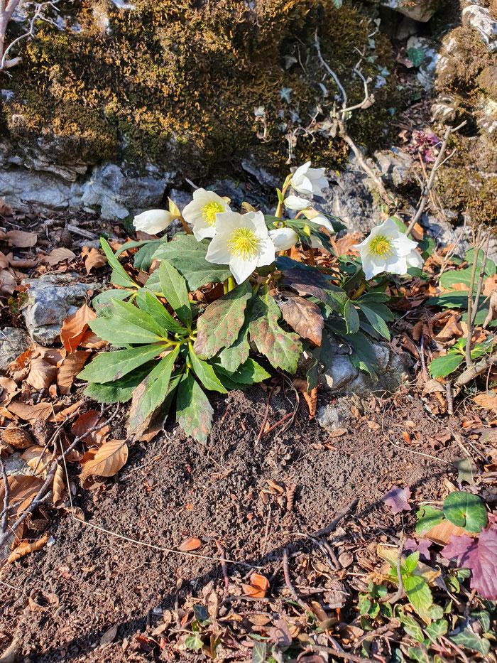 Helleborus niger Christrose Monte San Salvatore Bild: Marcel Ambühl