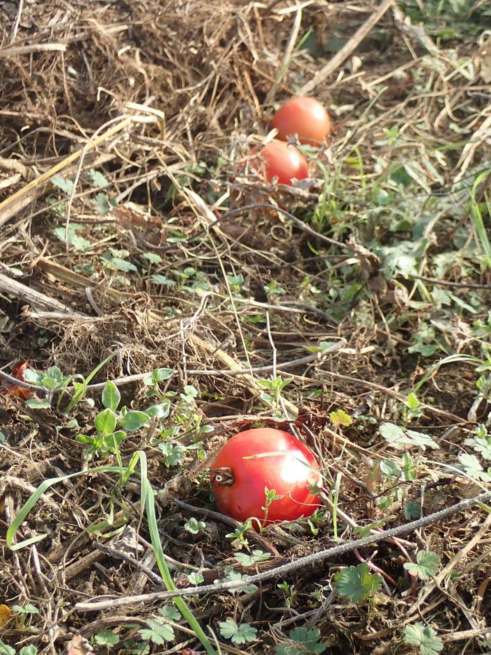 自生えトマト 自然栽培 固定種 種取り 農業体験 体験農場 野菜作り教室