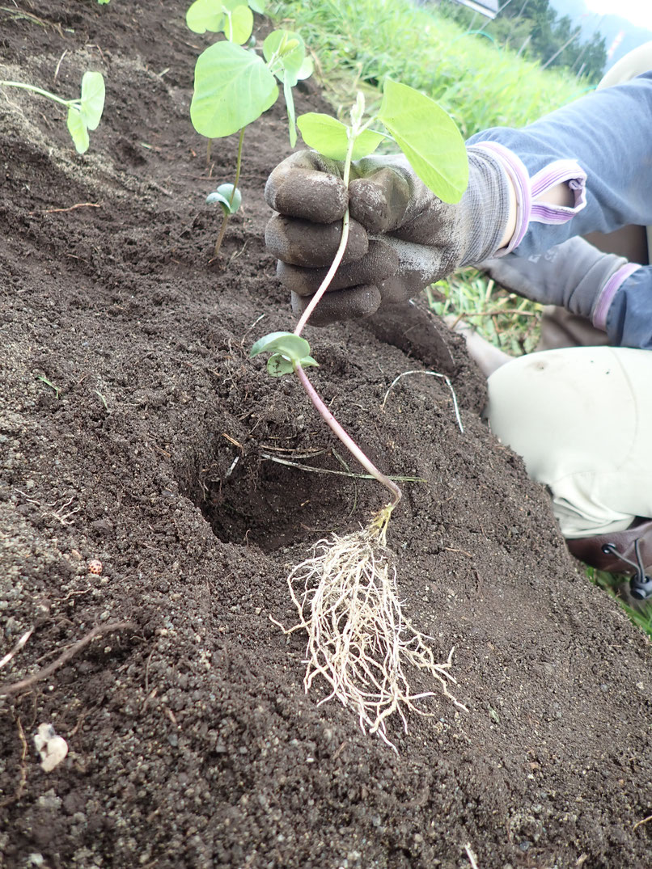 大豆の無農薬栽培を野菜作り教室で学ぶ