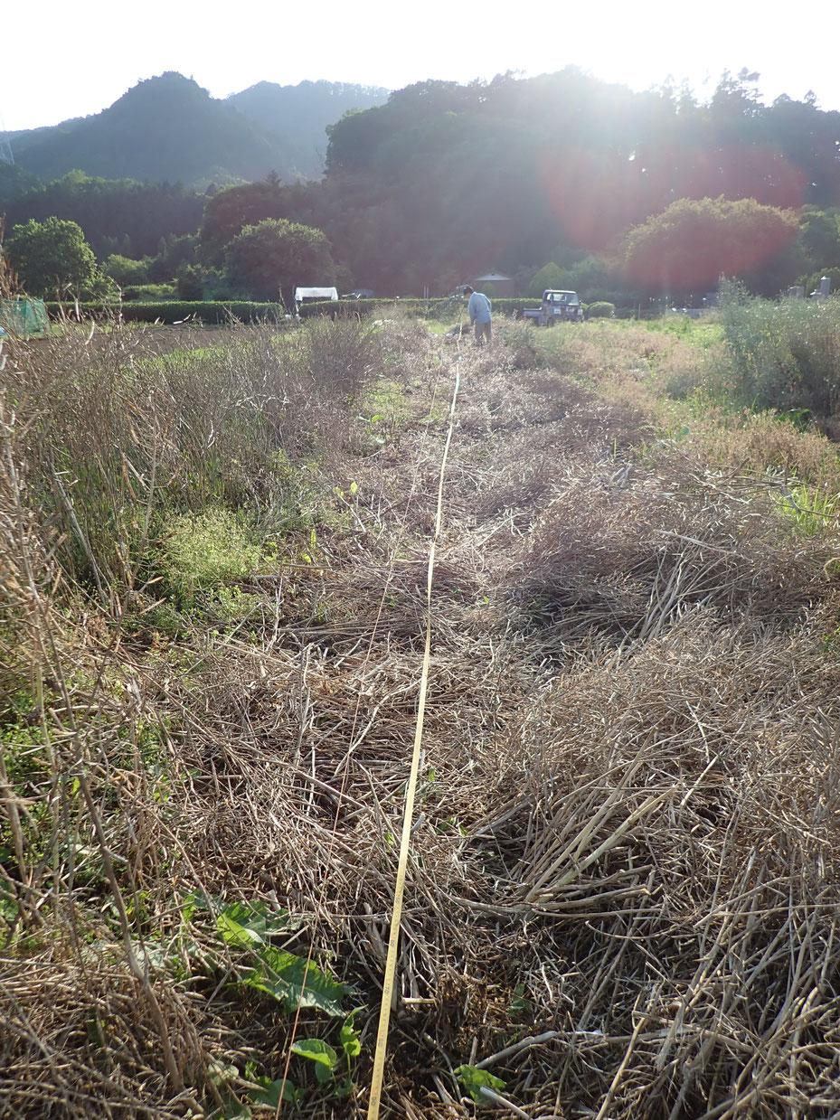 無農薬・自然栽培のトマト(固定種)の定植。不耕起栽培の畑です。