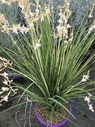 Chlorophytum saundersiae 'Starlight' ®