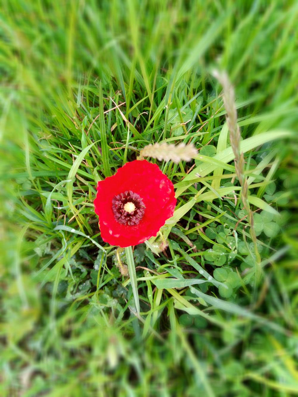 La fleur de Lugus.