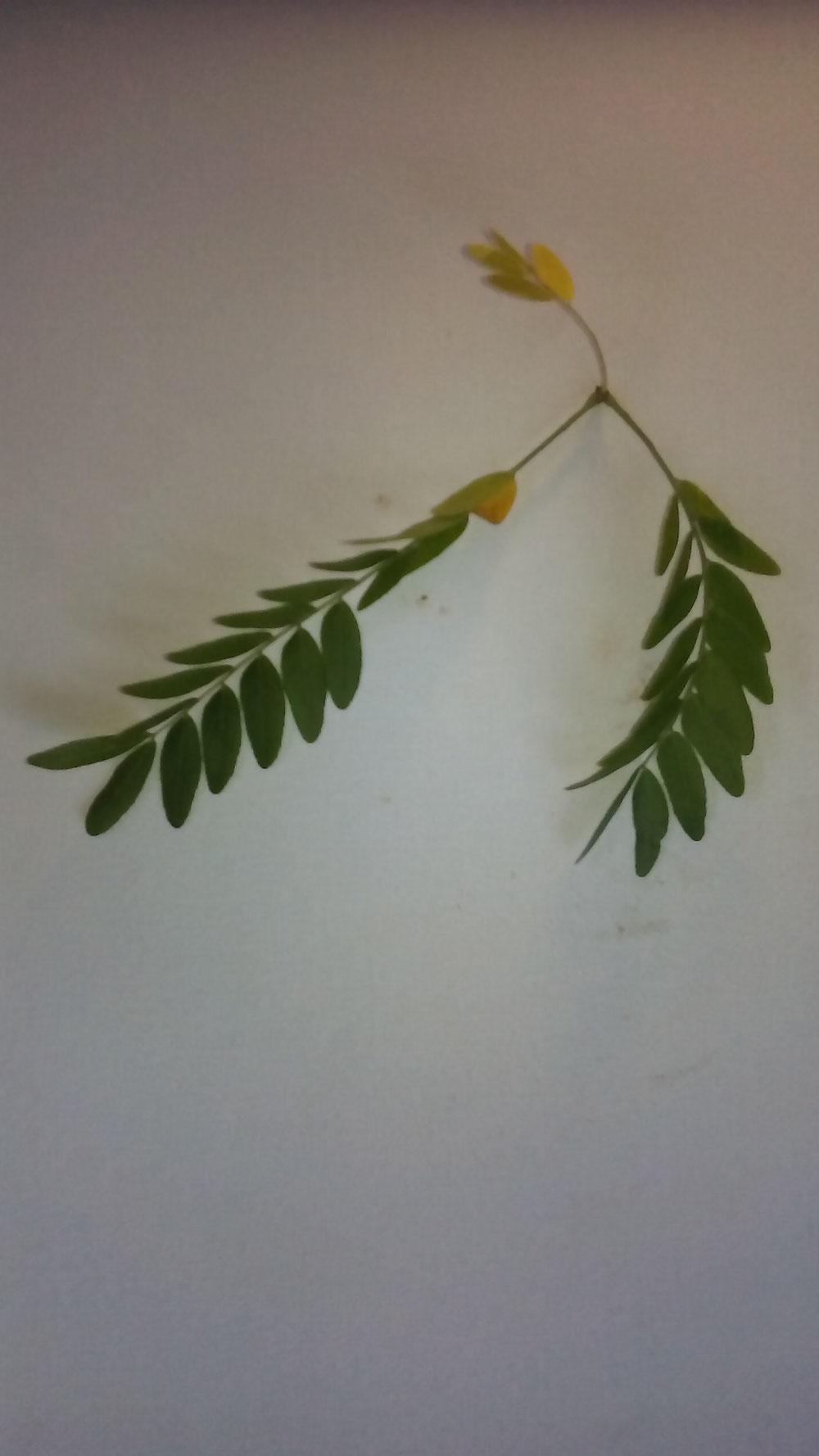Feuille d'acacia