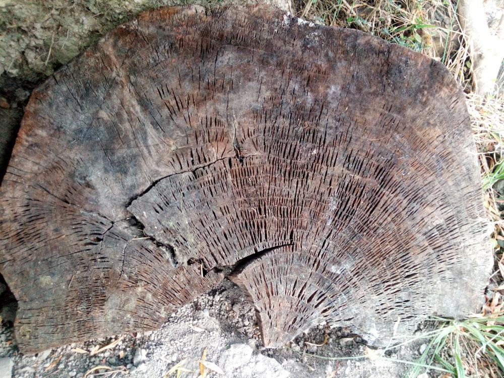 Coupe du temps d'un arbre de trente années.