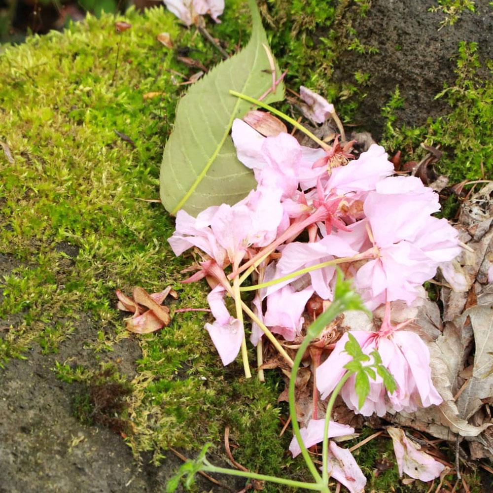八重桜が散ると、藤が現れる