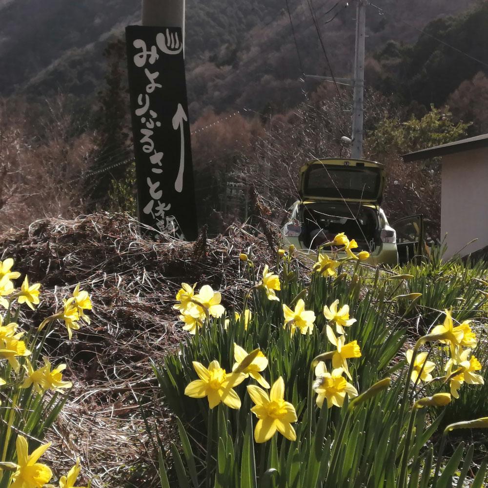 黄色水仙の花言葉「わたしのもとに帰って」!