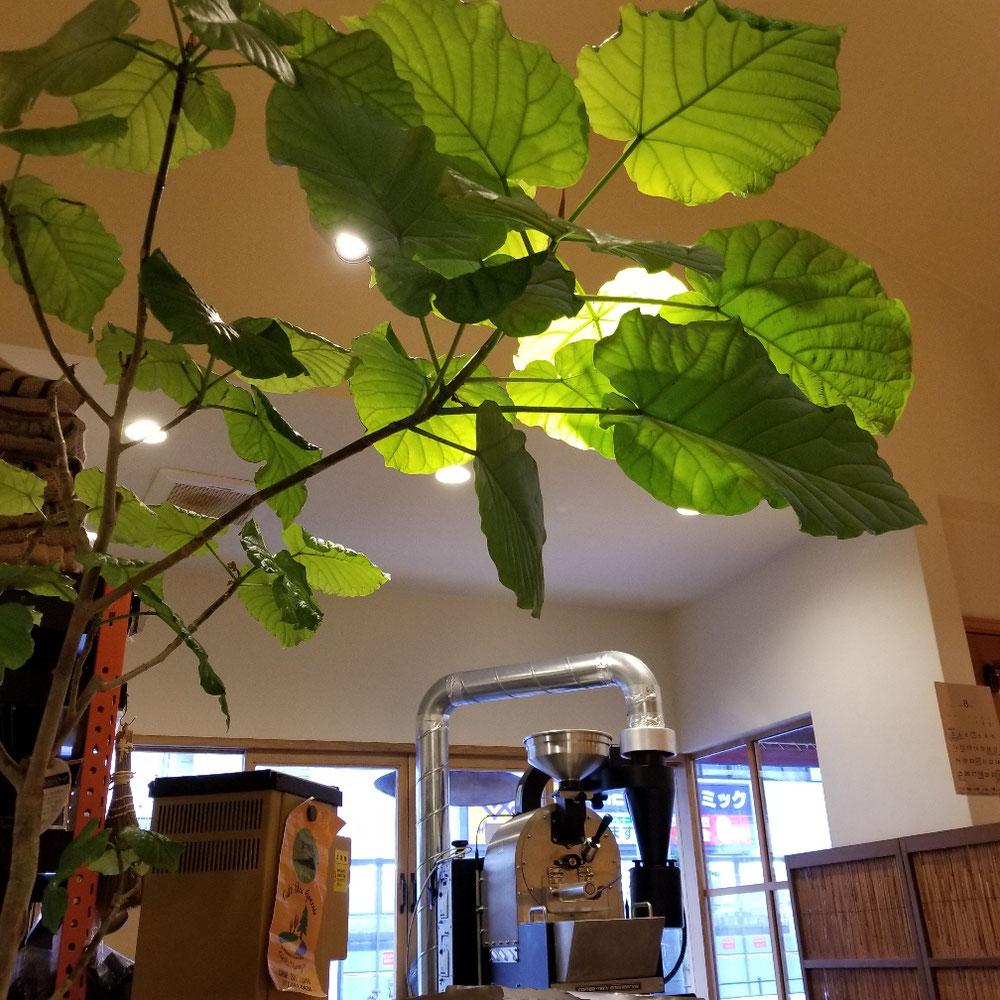 お店に来て葉っぱが落ちたが力強く新しい葉っぱ育ってきてます