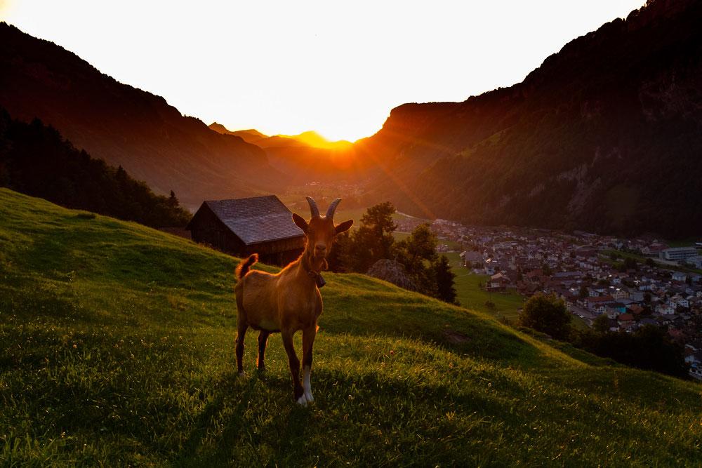 Sonnenuntergang Muotathal mit Ziege