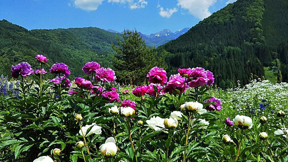 満開の芍薬と乗鞍岳