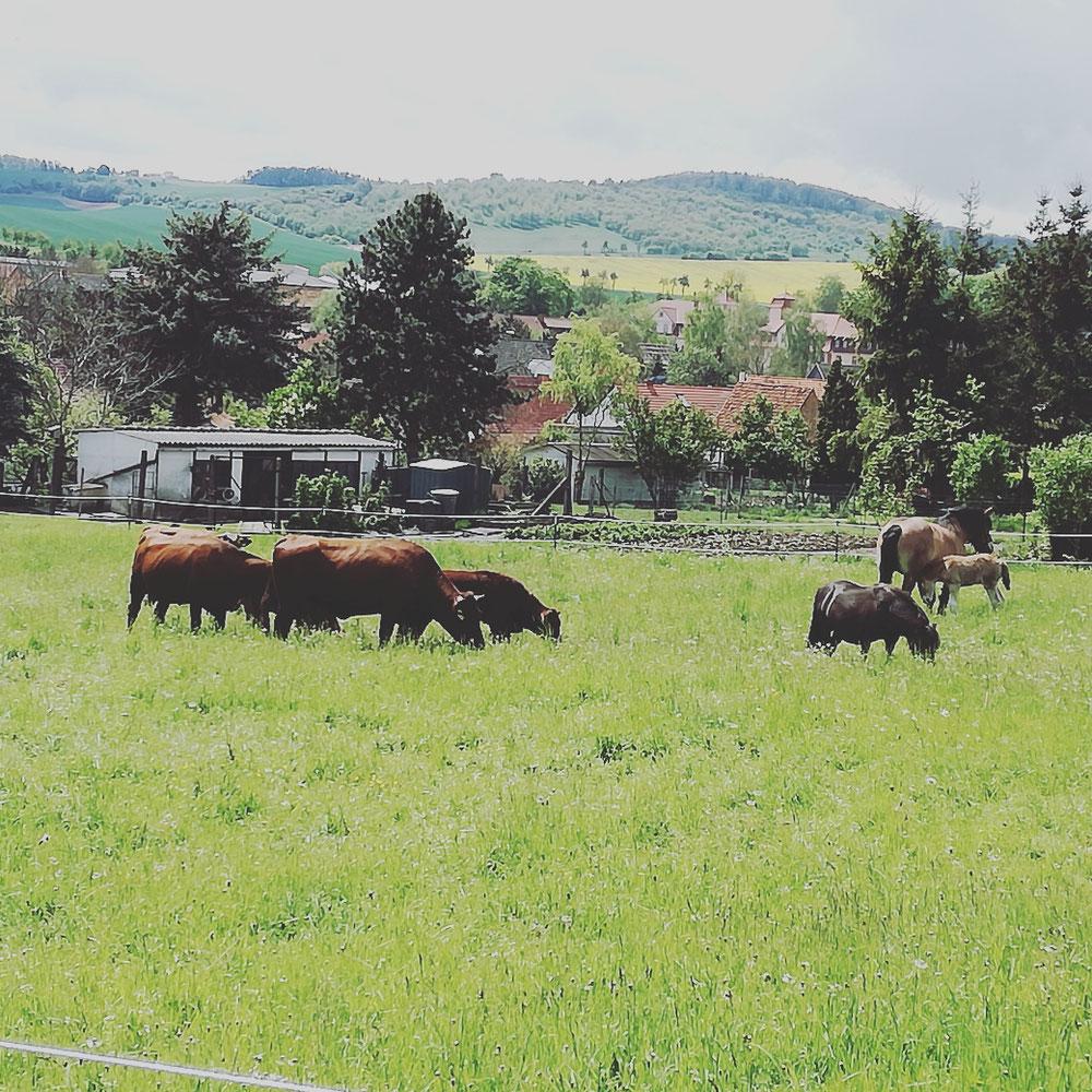 Rinder und Pferde verstehen sich prächtig
