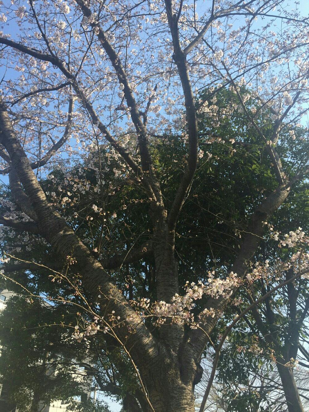 咲く前に花見