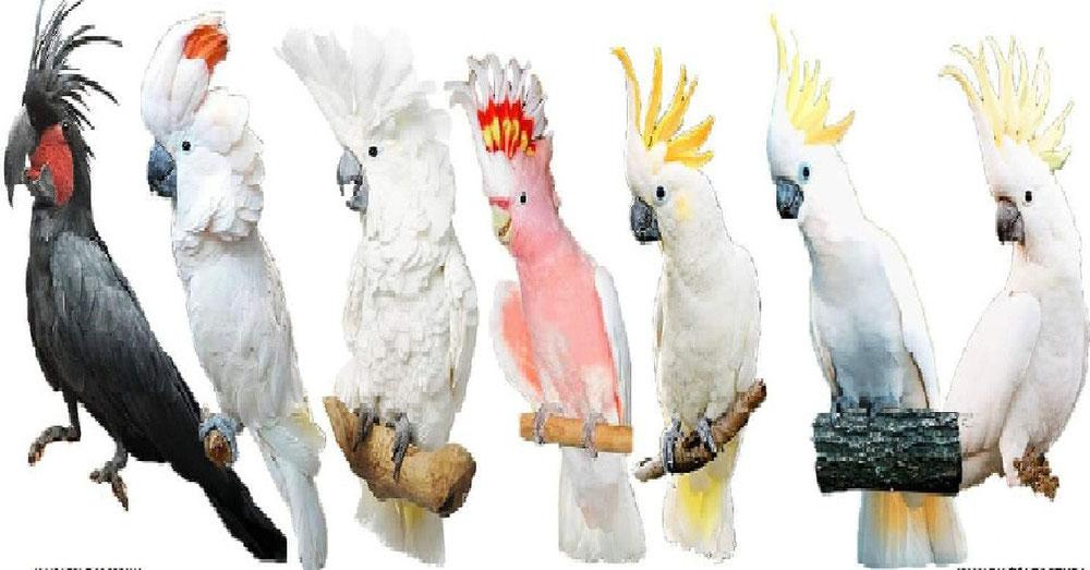 Cara Pemeliharaan Burung Kakatua Parrot Store