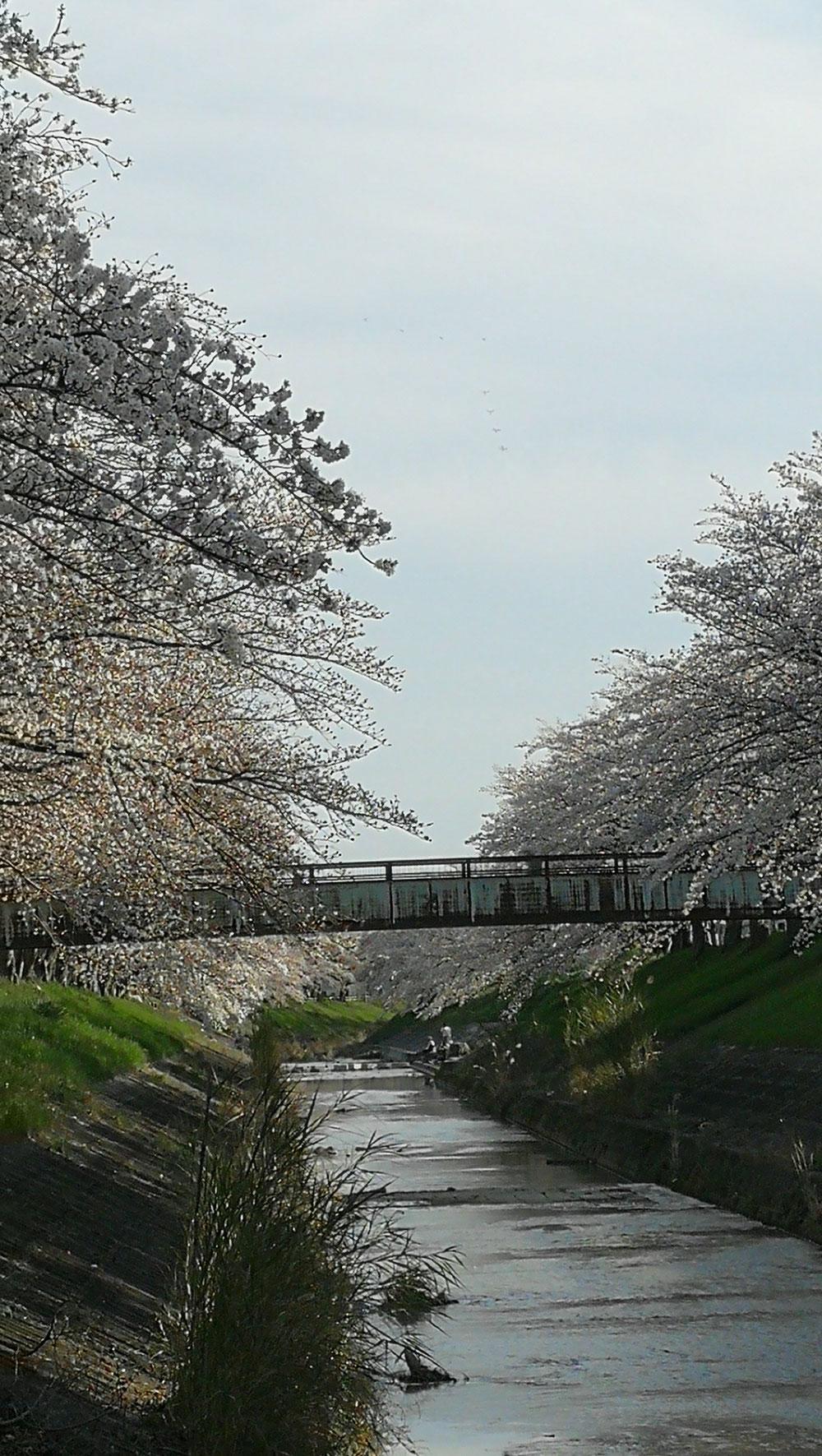 奈良 佐保川の桜20160405