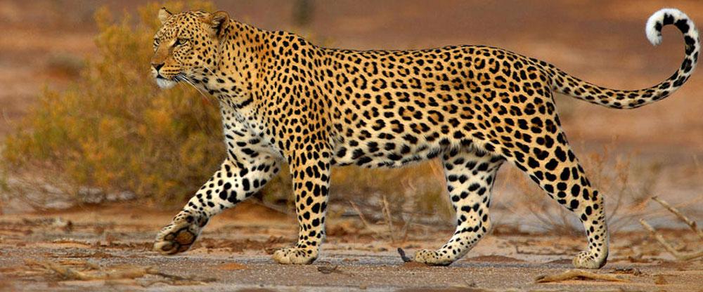 Leopardo africano