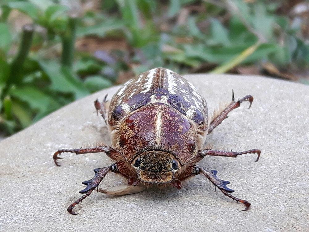 Dieses Monster ist ein Käfer. Und der lebt.