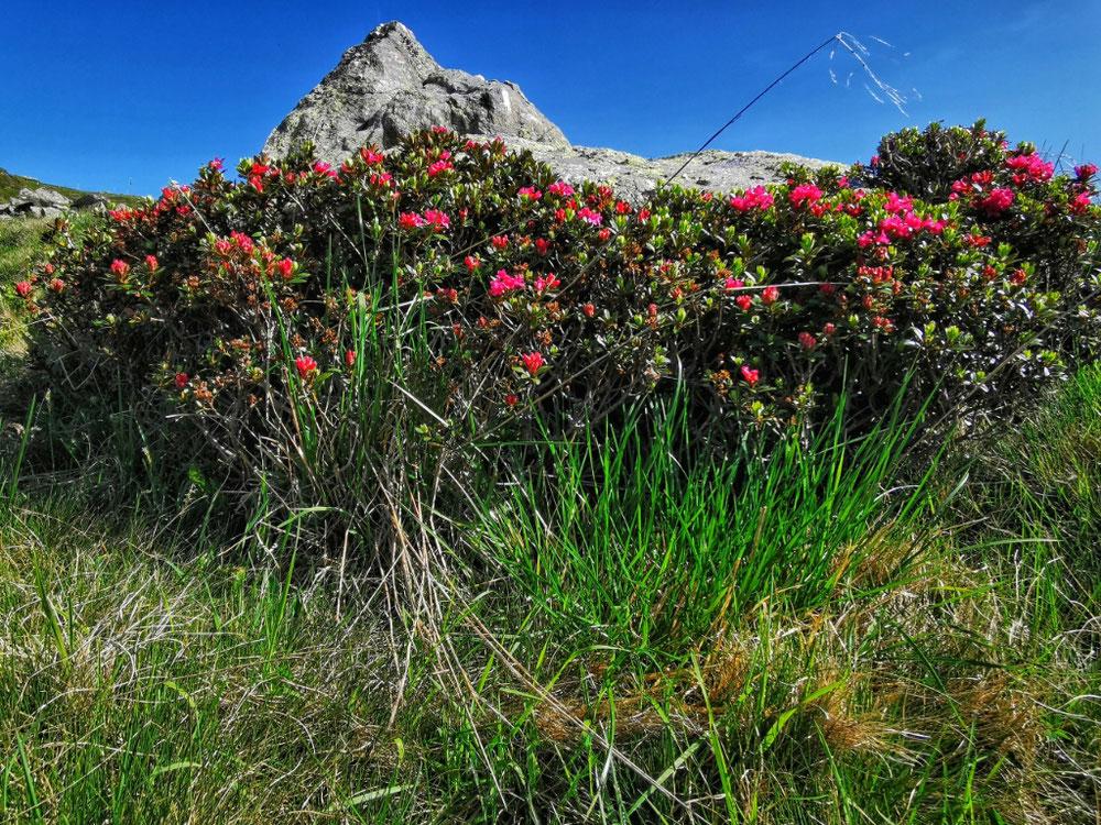 Blühende Alpenrose auf dem Weg zum Zinseler
