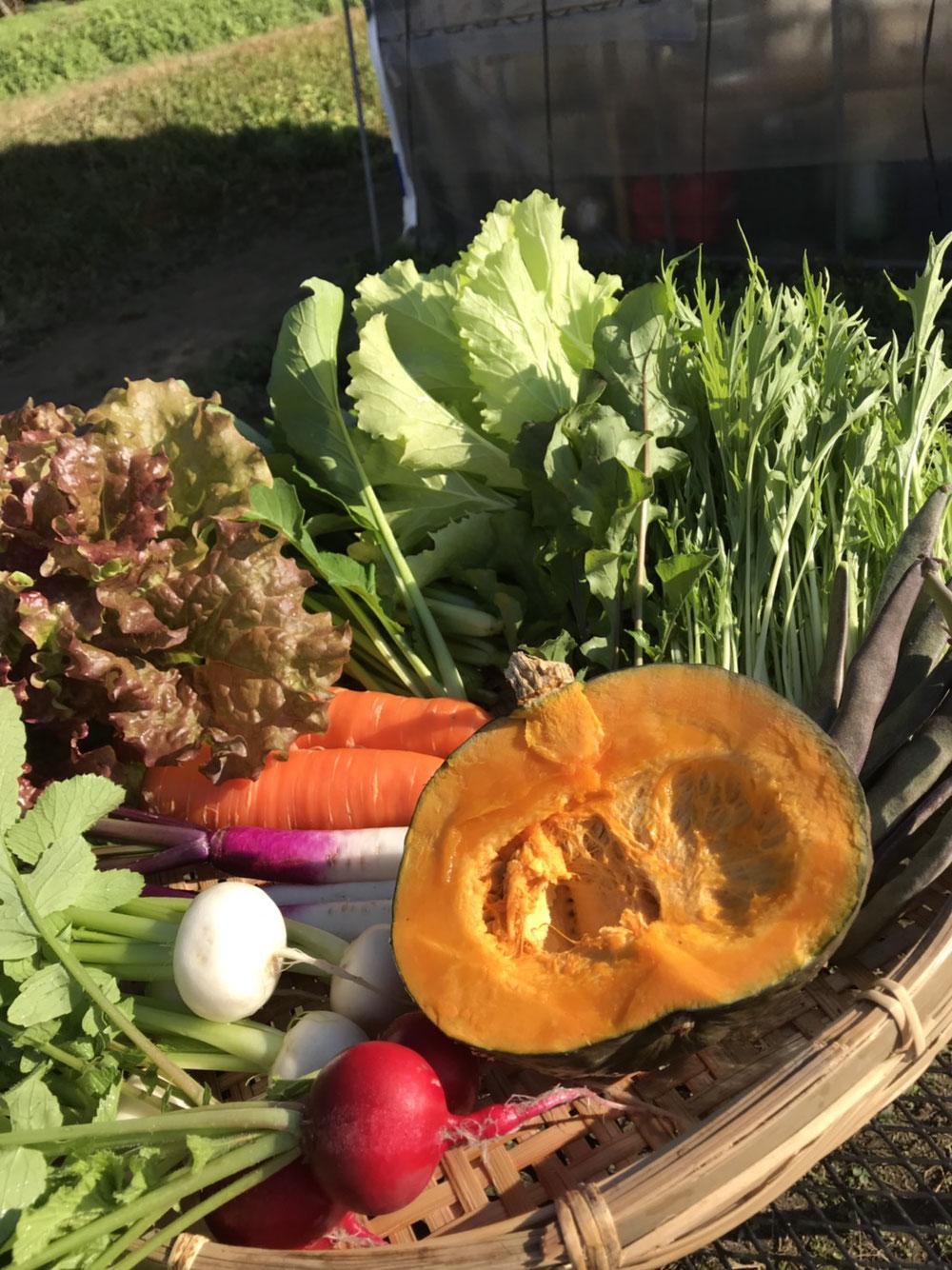 この日は、サニーレタス・山東菜・水菜・小松菜・ニンジン・小カブ・日野菜カブ・ラディッシュ・平鞘いんげん・かぼちゃ・ルッコラでした。大セットです。