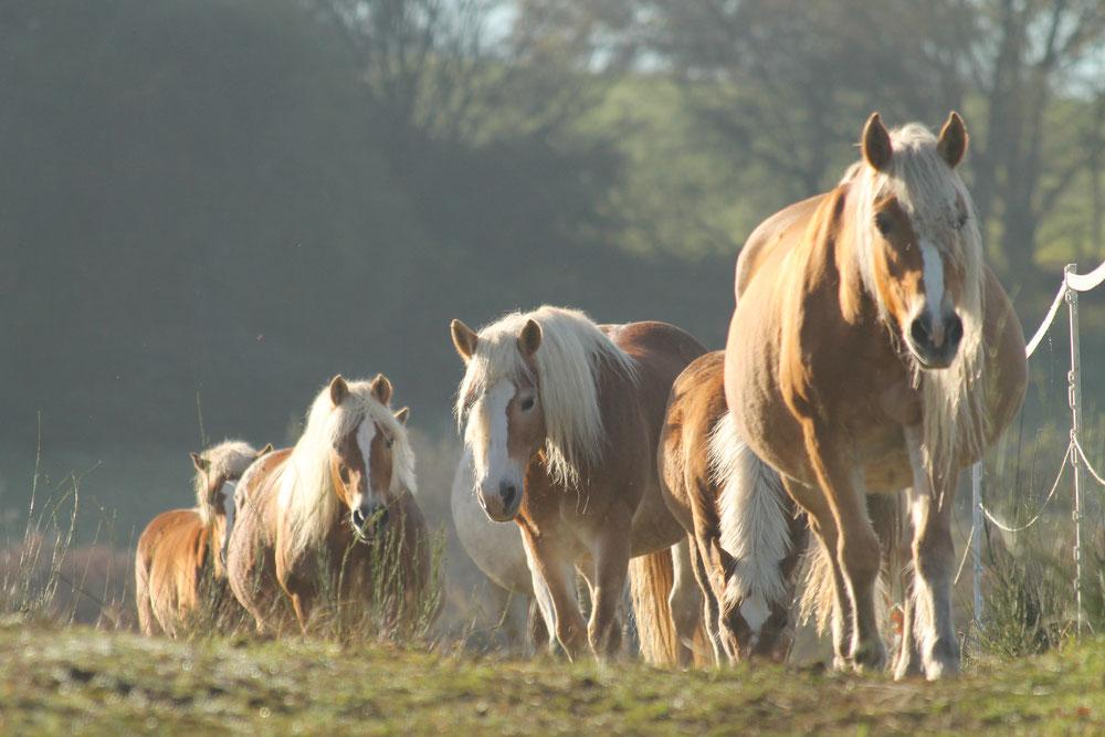 Juments Haflinger dans les prés del'élevage de Laum, au soleil.