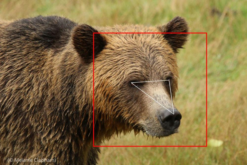 برنامج التعرف على وجوه الدببة يستخدم تقنية التعرف على الوجوه لمساعدة دعاة الحفاظ على البيئة في التعرف بسرعة على الدببة البنية في صور الفيديو الملتقطة في البرية. (© Melanie Clapham)