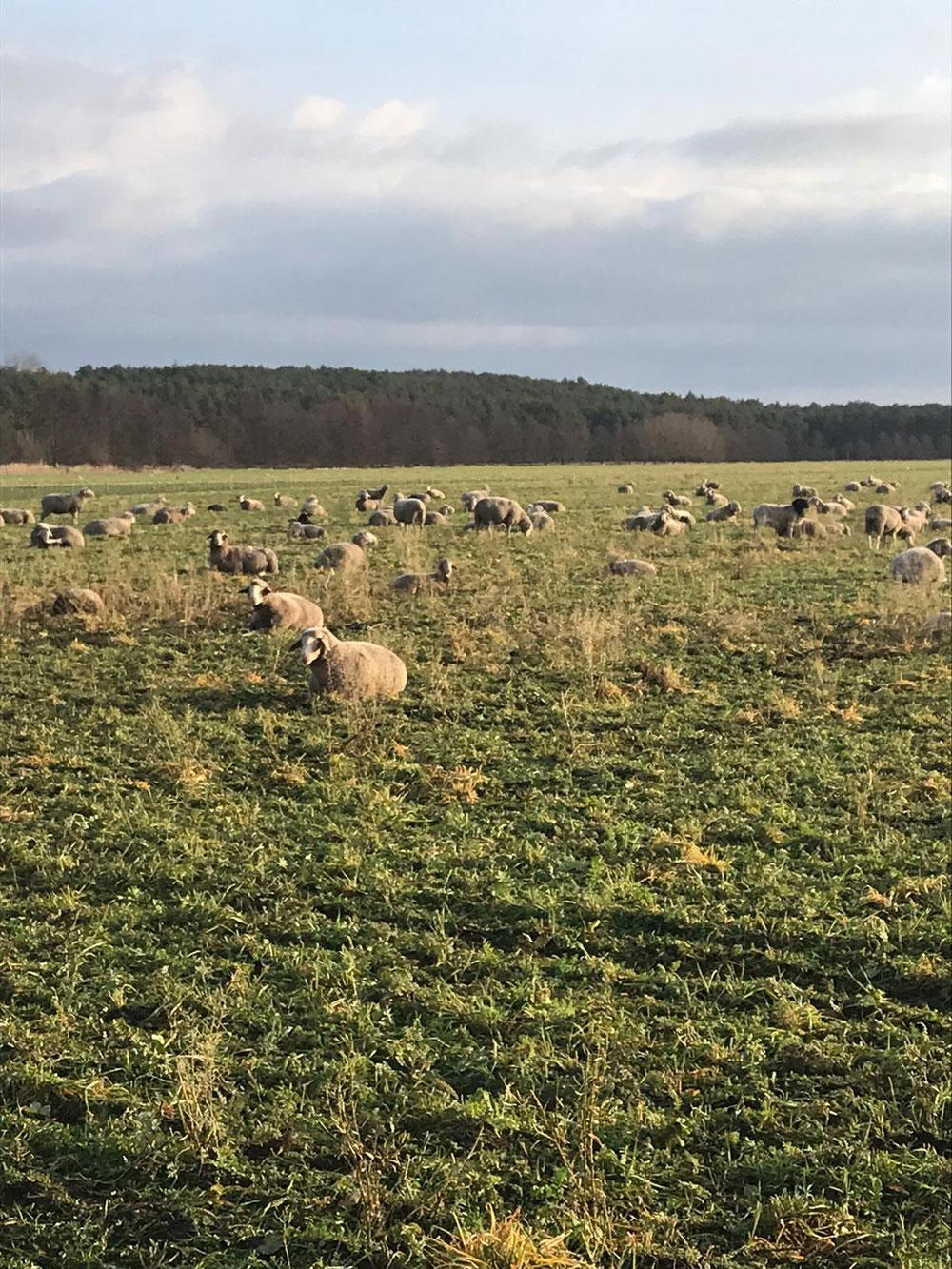 Violas Schafe im Süden von Berlin