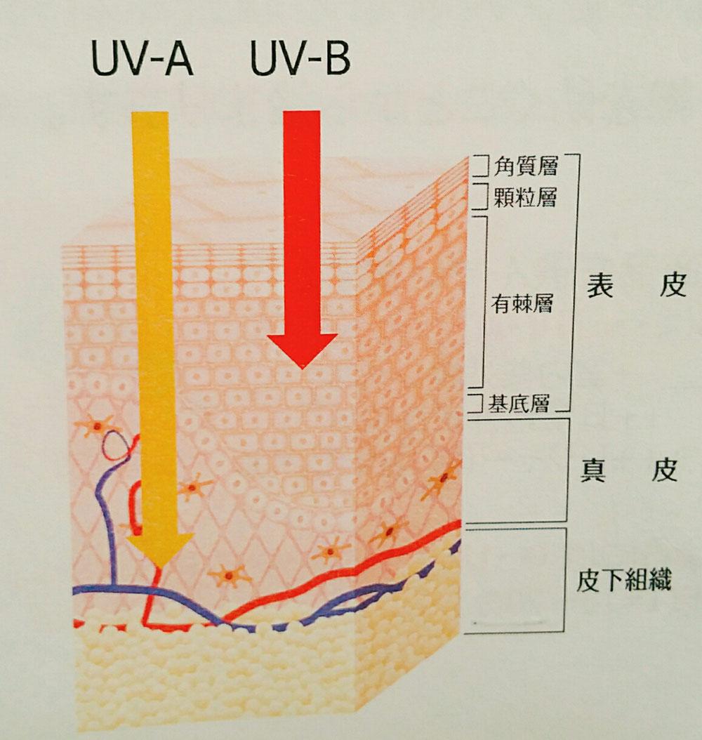 紫外線の種類 UV-A UV-B 肌図