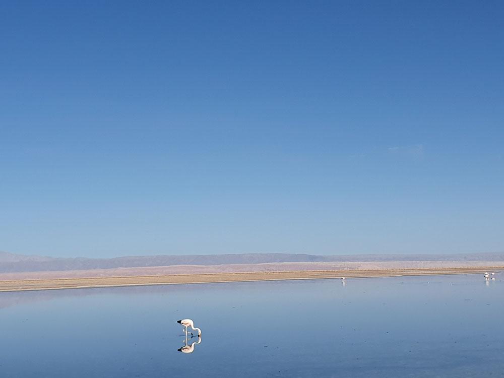 Flamingo am Chaxca-See im Salar de Atacama