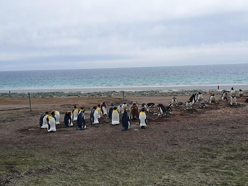 Königspinguine mit Vorjahresküken in braun, dahinter Gentoo-Pinguine