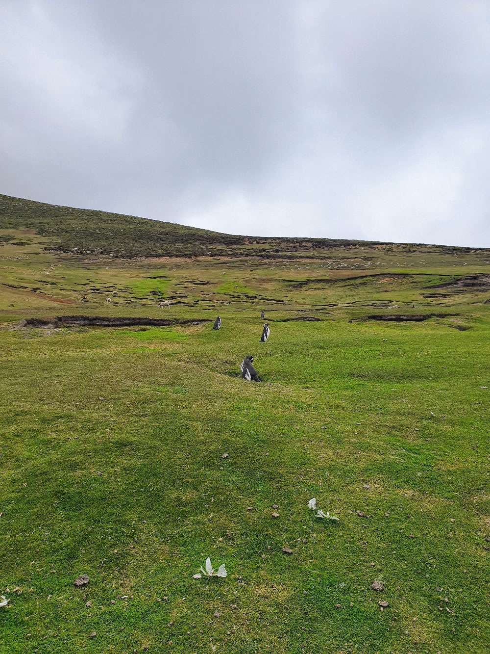 Hier eine Magellan-Schaf-Kolonie
