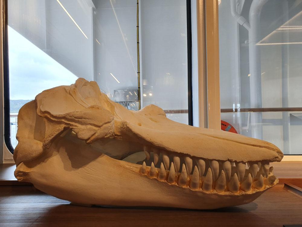 Das Science Lab echt vom Feinsten - darf ich vorstellen: ein Orca-Schädel
