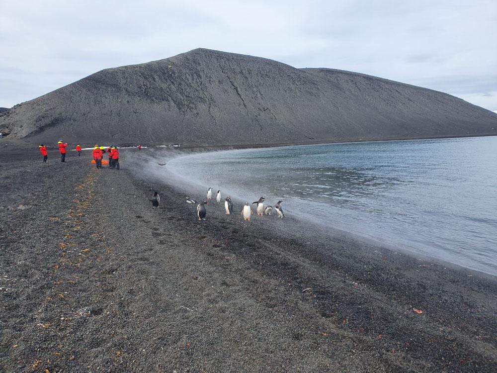 Der dampfende Vulkanstrand, übersät mit totem Krill, bewacht von Pinguinen - bei genauem Hinsehen erkennt ihr den Chinstrap unter lauter Gentoo-Pinguinen