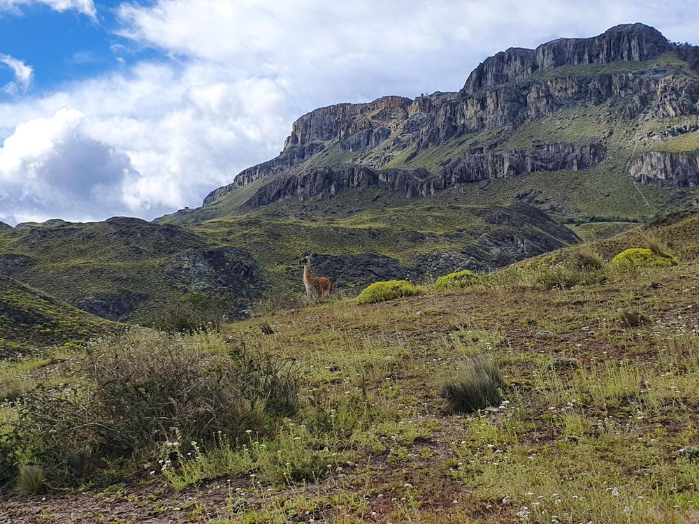 El Relincho - das einsame männliche Wächterguanaco