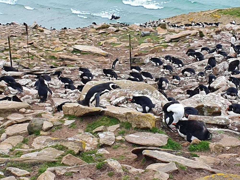 Ein Magellan-Pinguin inmitten einer Kolonie von Rockhoppern (Felsenpinguine)