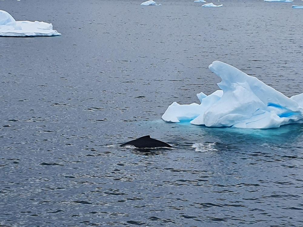 Finne eines Buckelwals