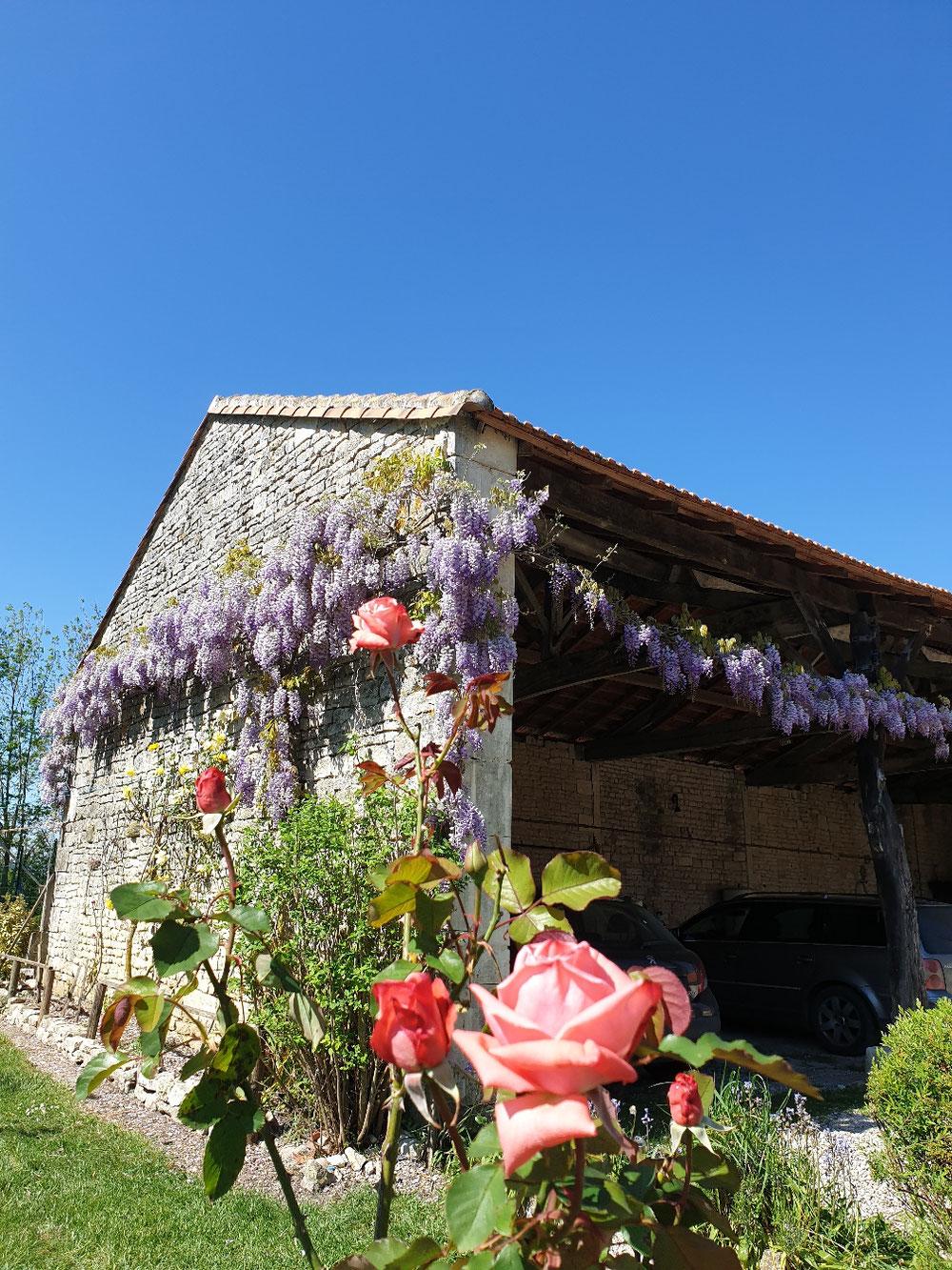 Glycine  #wisteria blossom