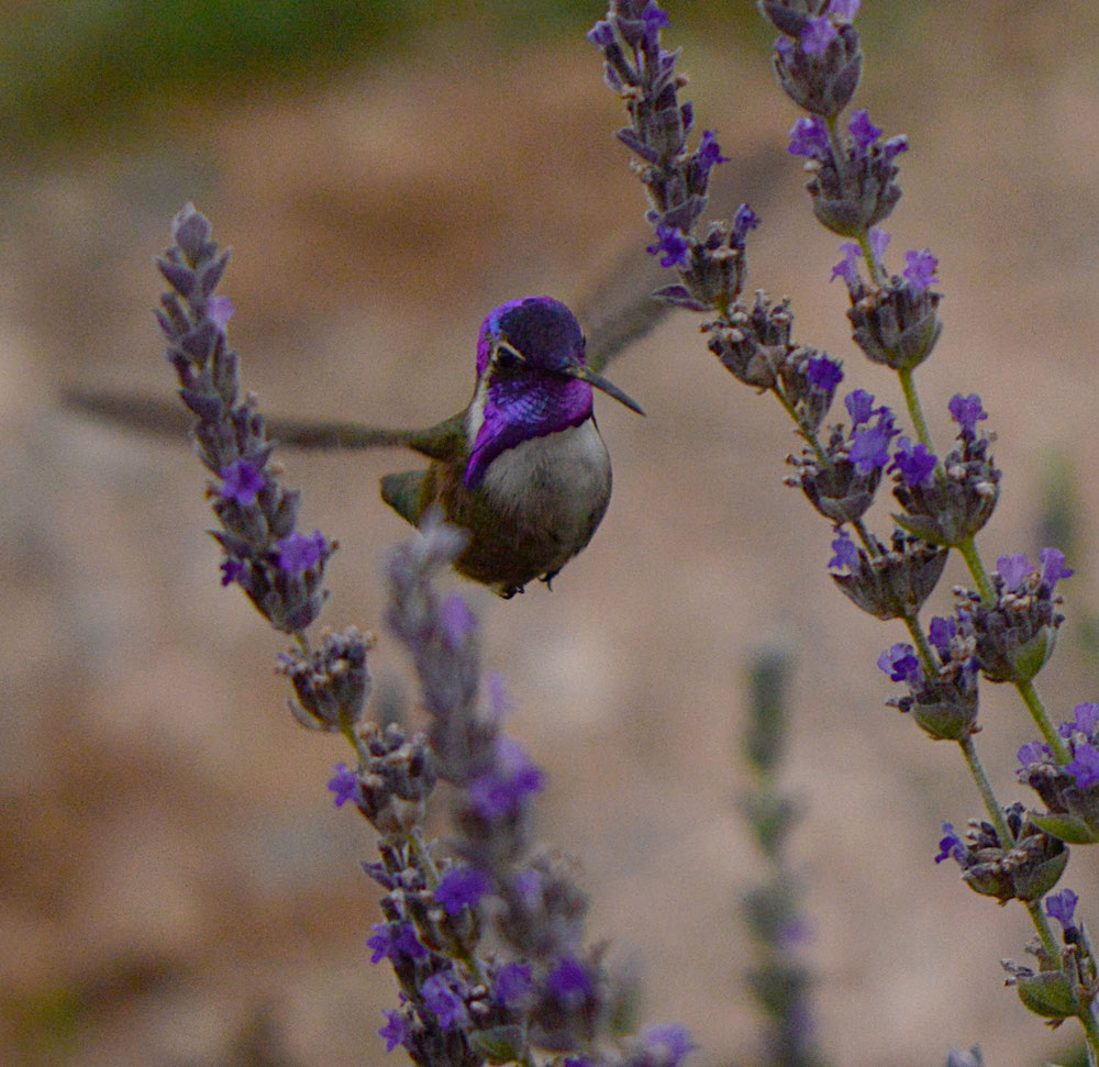 costas hummingbird, calypte costae, desert garden, lavender, goodwins creek gray, lavandula, small sunny garden, amy myers, photography
