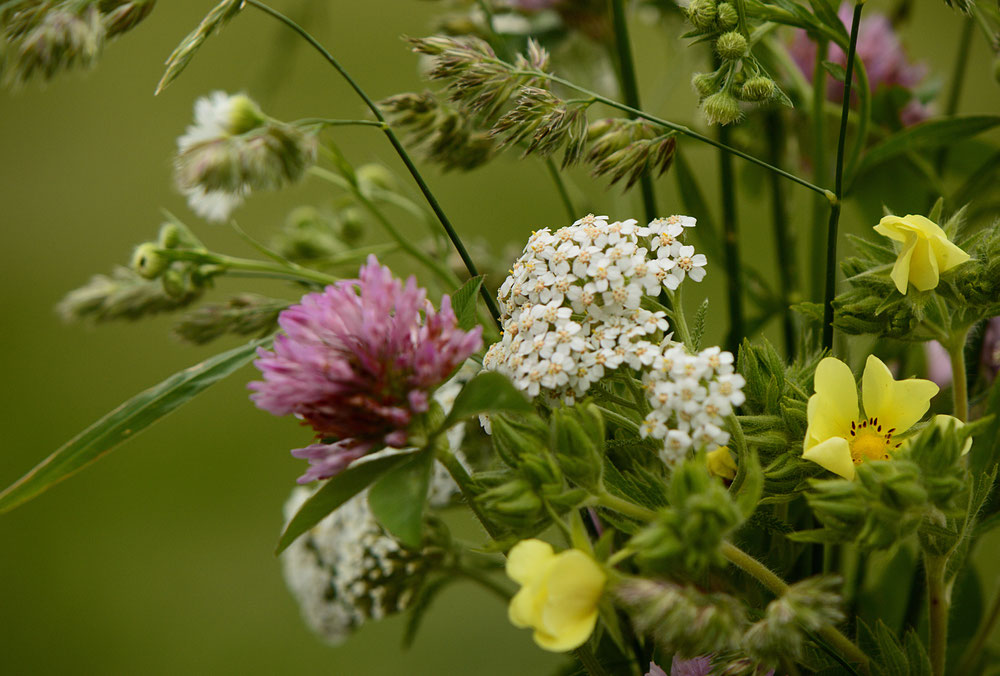 Achillea, potentilla and clover