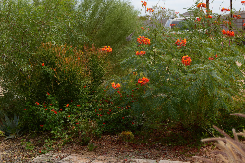 The East Border in late September, dominated by Caesalpinia pulcherrima