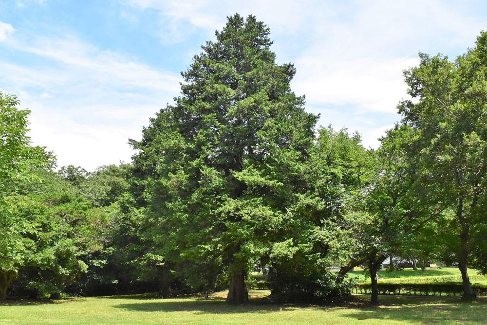 檜の薪特性