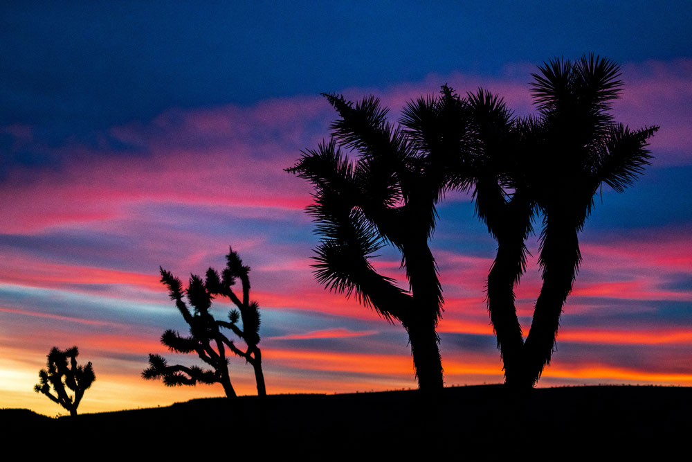 Joshua Trees after sunset in Arizona, USA