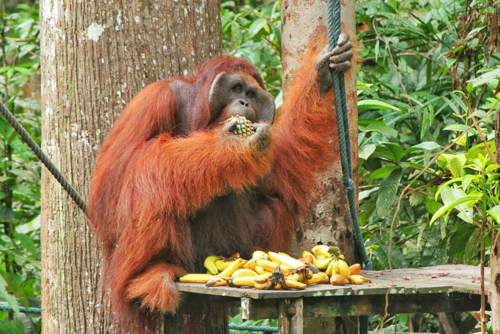 Orang Utan - Semenggoh wildlife center