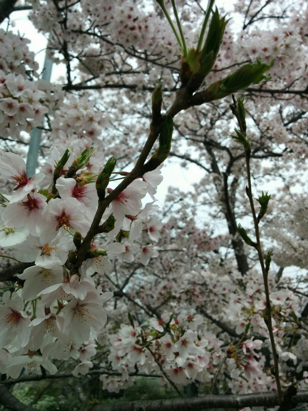 交野市の名物妙見桜