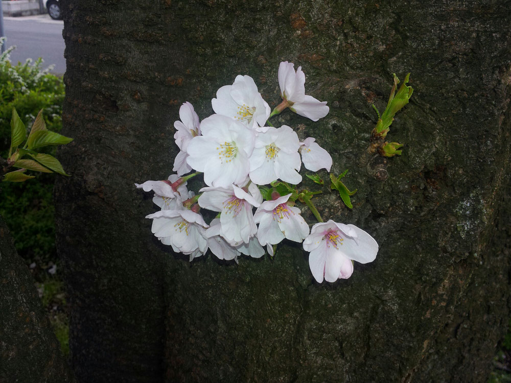 幹からさいた桜、小さくても美しい