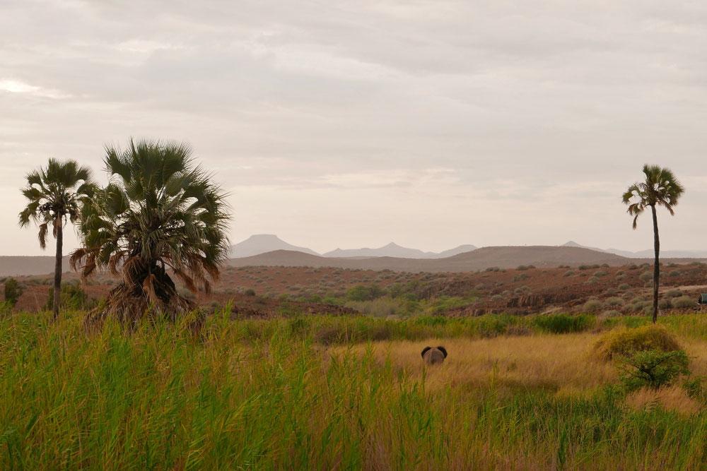 Un éléphant du désert...
