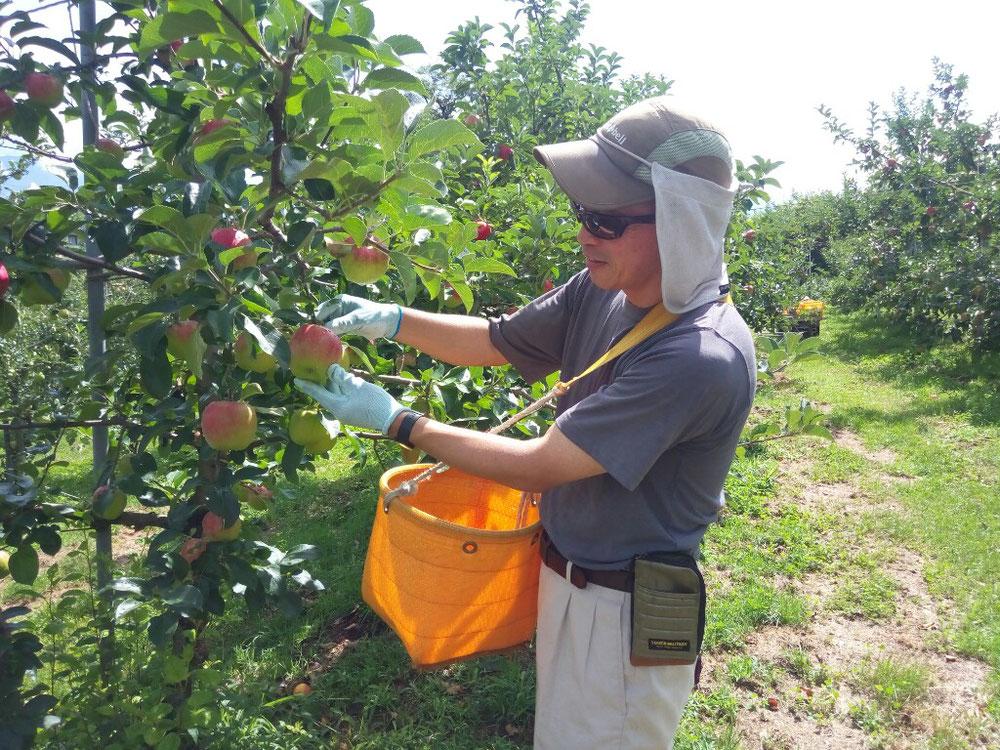 りんごシナノレツドの収穫開始