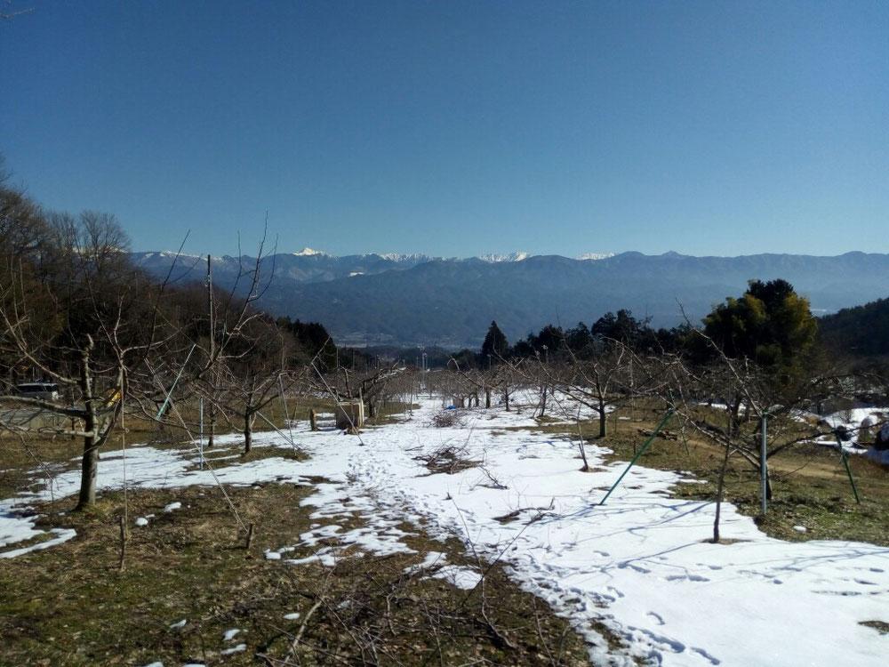 雪が融けた果樹園では剪定作業が進んでます